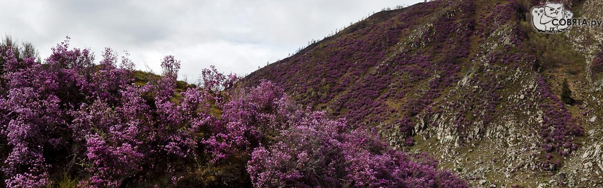 Цветение маральника в долине реки Большой Ильгумень