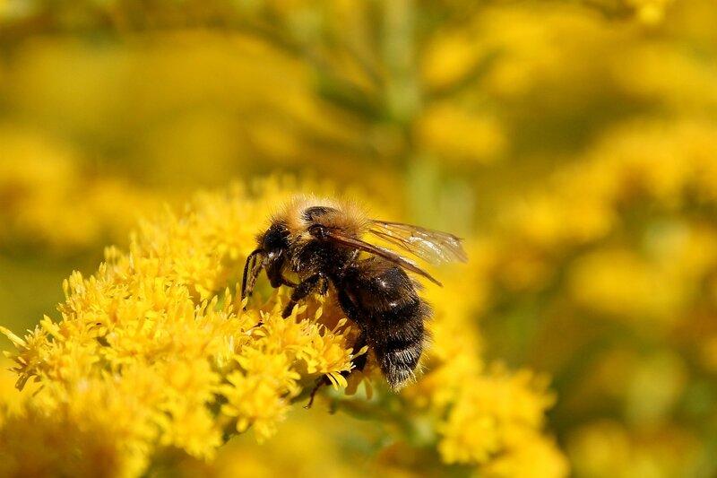 Пчела собирает нектар с жёлтых цветков северной мимозы 7332