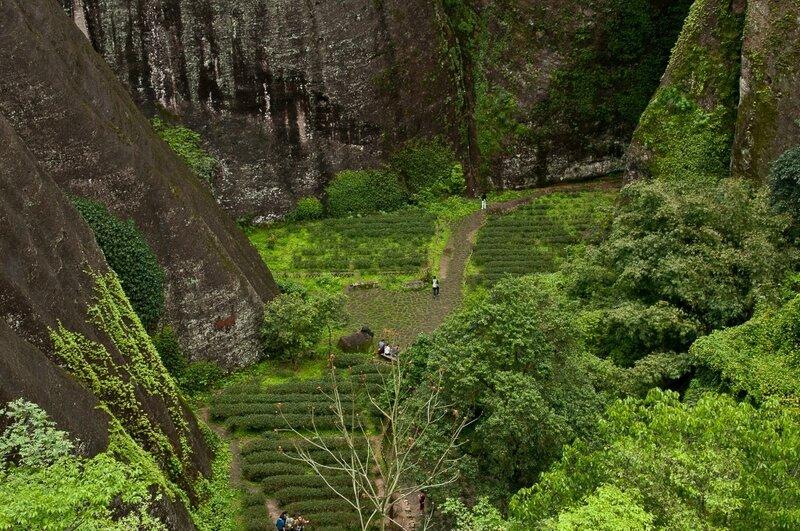 Зеленый чай в долине
