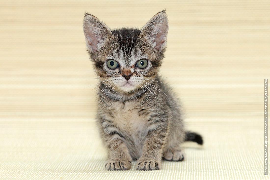 Бомбейская кошка нетрадиционного окраса