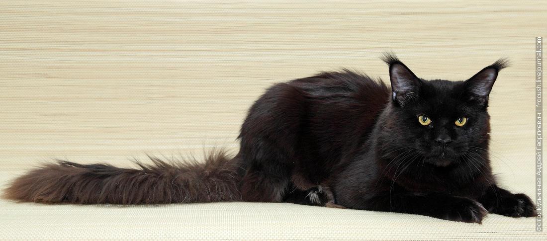 в Москве отдам в совладение кота Мейн-куна