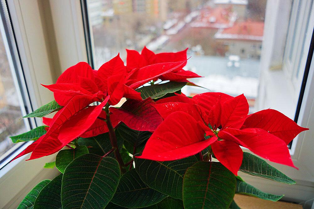 Пуансеттия рождественская звезда уход в домашних условиях 112