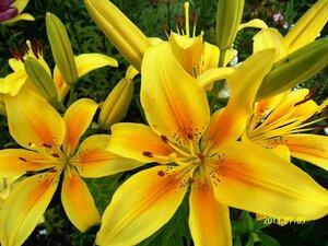 Солнышки - увидела такие лилии у соседки и очень захотелось себе такие же:))