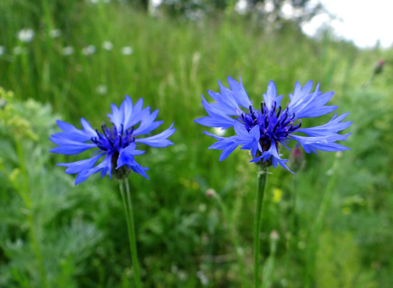 Василек синий (Centaurea cyanus). Автор фото: Привалова Марина