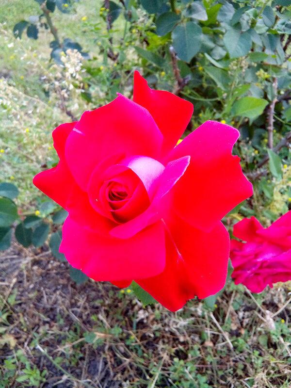 Роза-9.jpg