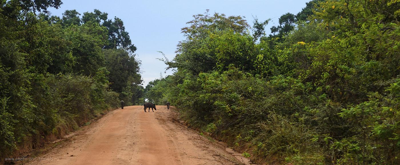 6. Фото. Дикие кабаны на дорожках в заповеднике Яла на Шри-Ланке - обычное явление. (320, 55, 7.1, 1/30)