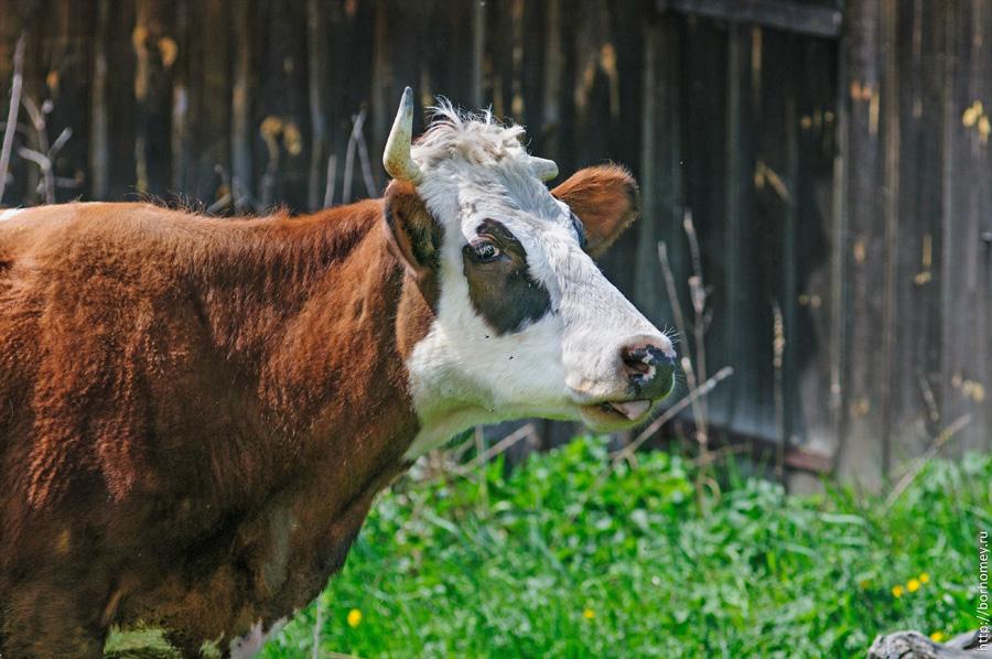 фото коровы