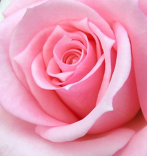 Красота розовой розы