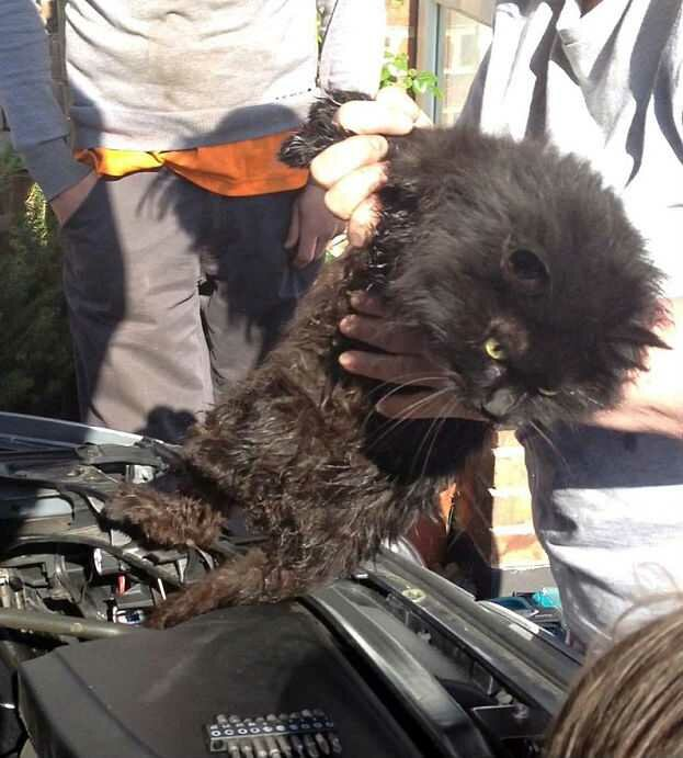 Кошка прожила под капотом автомобиля две недели