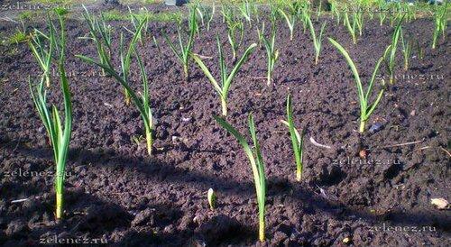 Как мы выращиваем озимый чеснок