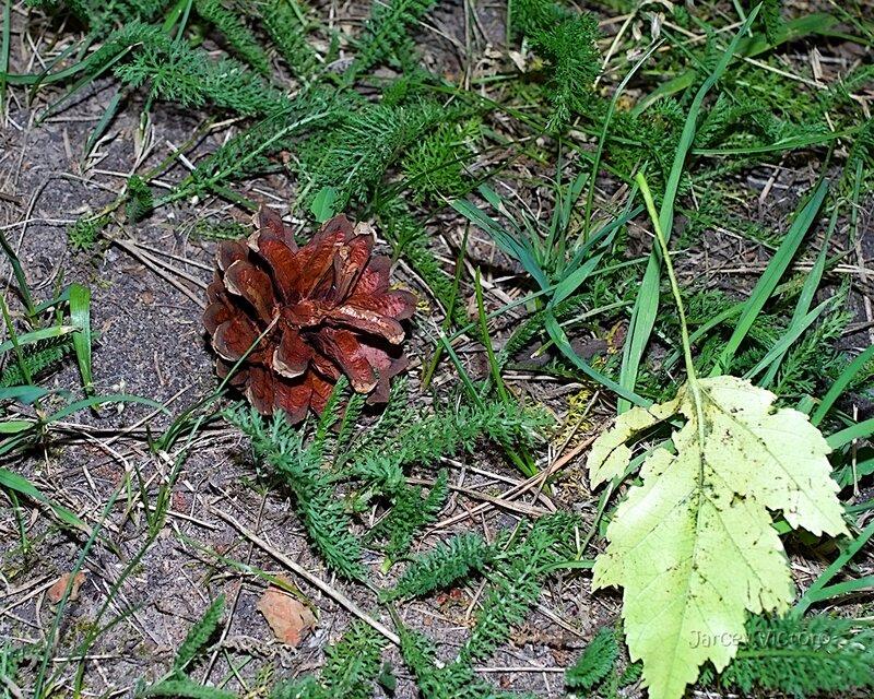 шишки листья