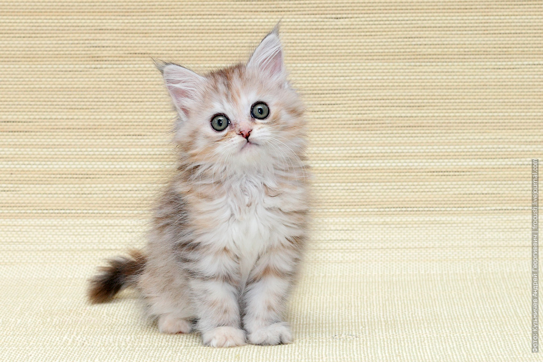 маленький котенок мейнкун фото
