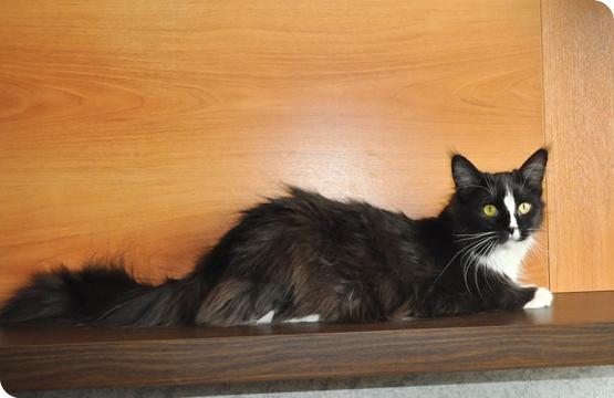 Мейн-кун котенок черный солид с белым