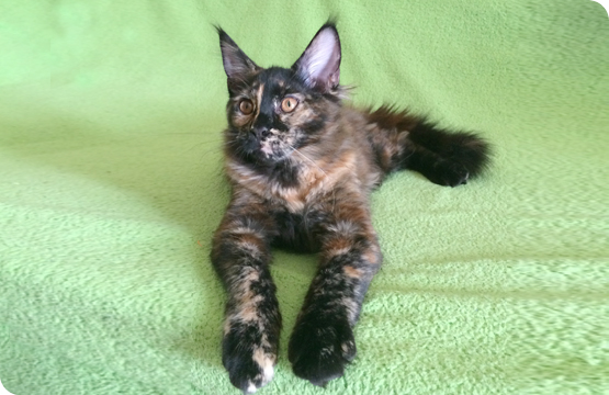 Мейн-кун котенок черепаха солид