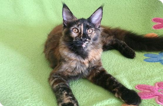 Мейн-кун котенок черепаха солид цена продажа