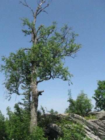 Дерево на вершине (14.05.2013)