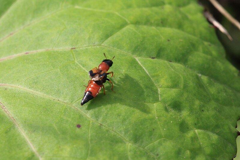 Жук-стафилин (лат. Staphylinidae) с короткими надкрыльями и красно-чёрным тельцем на листе мать-и-мачехи