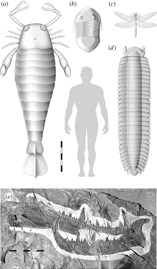 Окаменевший огромный  коготь - длиной 46 см, угадайте какому  гиганту он принадлежал?
