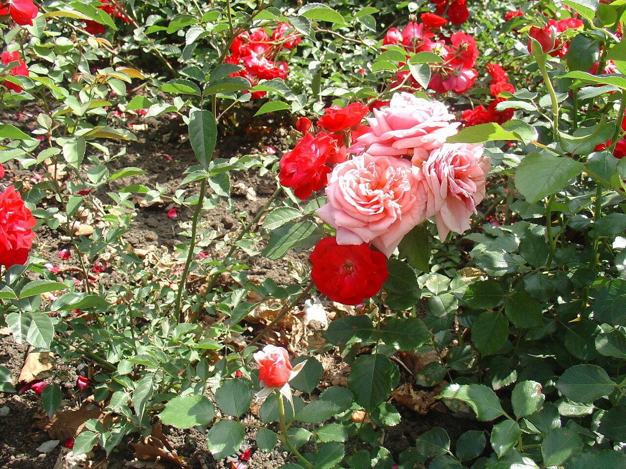 Розы в саду ботаническом