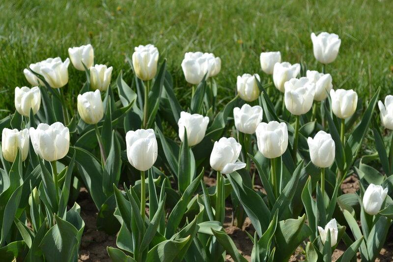 белые тюльпаны в ботаническом саду