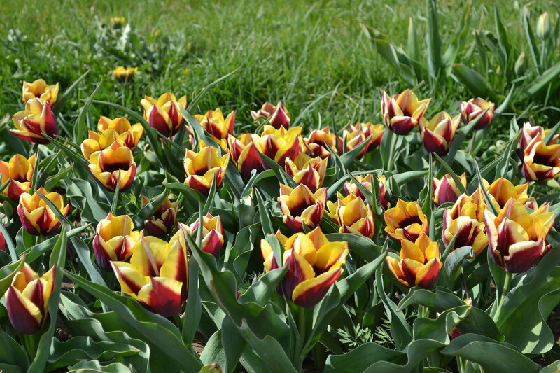 цветут тюльпаны в ботаническом саду, Симферополь