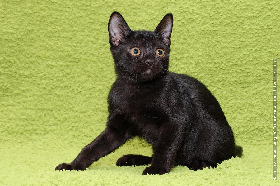 Бомбейский котенок продажа Москва
