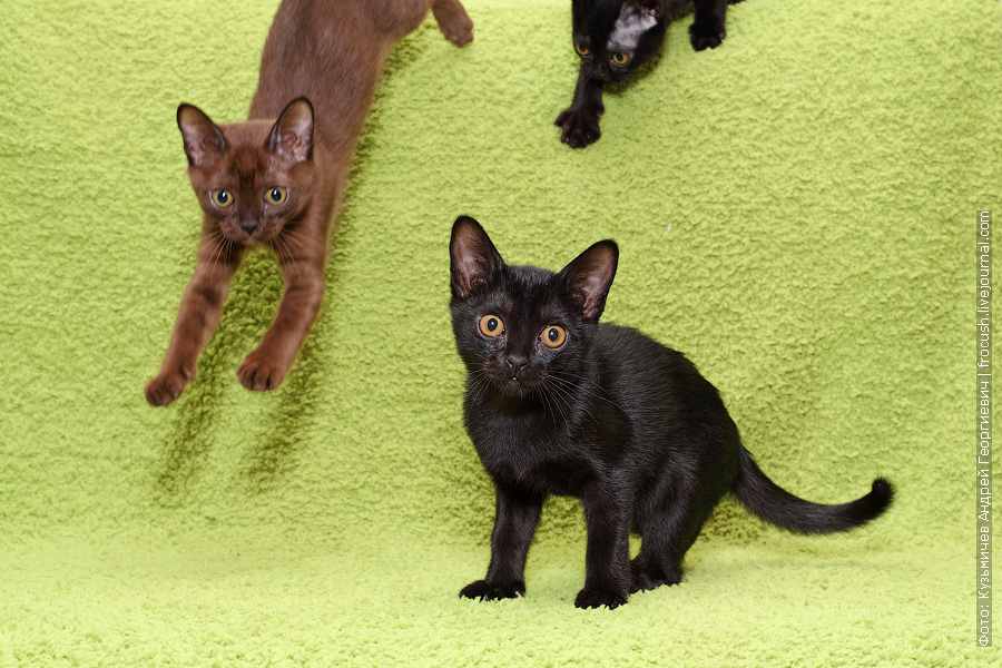 фотосъемка Бомбейских котят