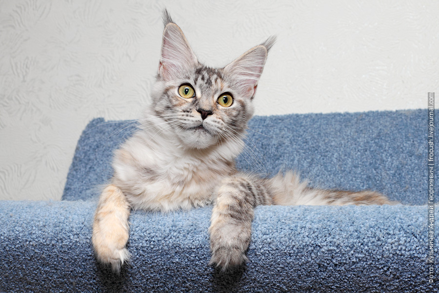 кошка Мейн-кун серебро