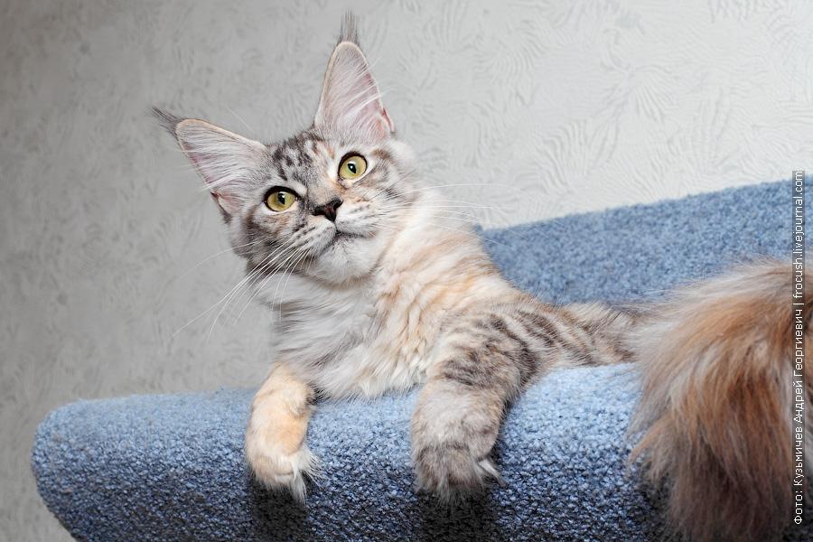 кошка Мейн-кун фотография