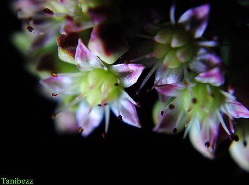 """Очиток (седум) Телефиум """"Клубника со сливками"""" / Sedum Telephium """"Strawberries and Cream"""""""