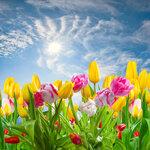 Tulips (7).jpg