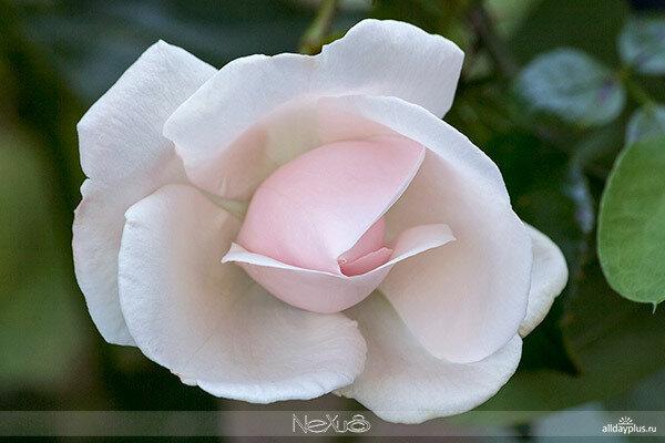 Я люблю все цветы, часть 71 | Роза «New Dawn».