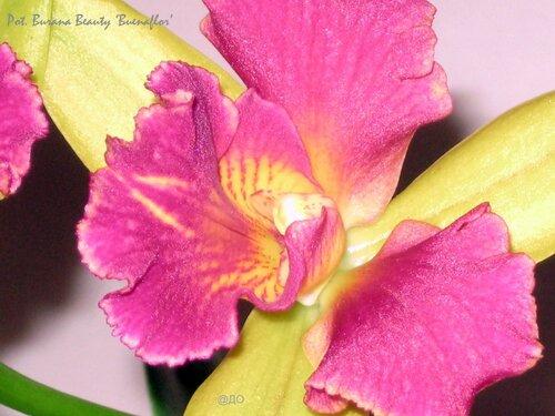 Rth. Burana Beauty 'Buenaflor' - цветок поближе
