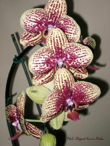 Цветет phalaenopsis Elegant Karin Aloha