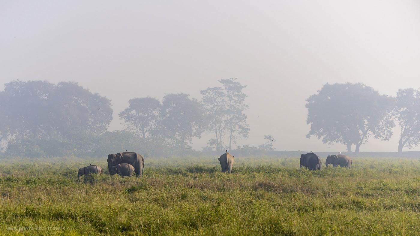 Фото 14. Стадо слонов в заповеднике Казиранга в индийском штате Ассам. Отчеты туристов о самостоятельной поездке по стране. 1/1250, -0.33, 4.8, 200, 116.