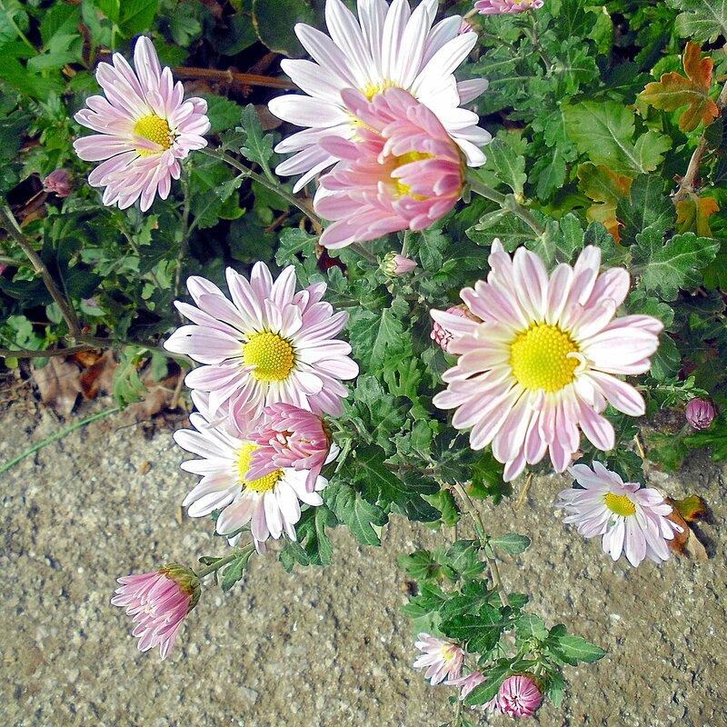 Осенние цветы Алупки