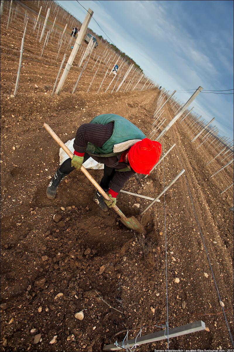 Посадка виноградников