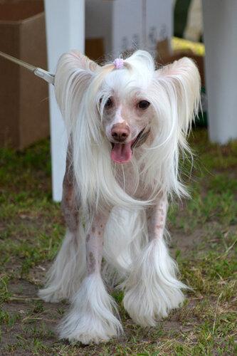выставка собак китайская хохлатая