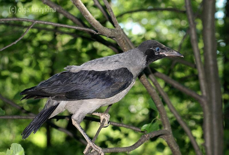 Слеток серой вороны (Corvus cornix)