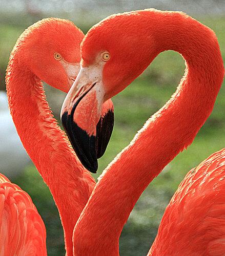 Сердце фламинго