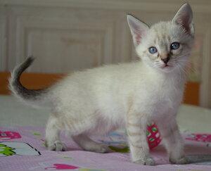 Ален сил тэбби кот