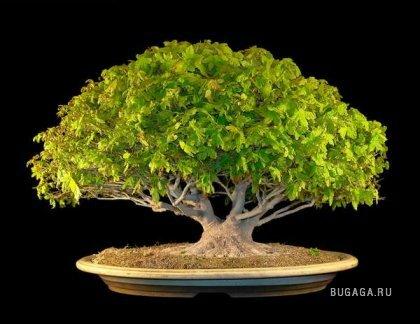 Японские деревья Бонсай