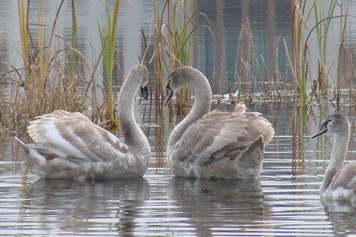лебеди на Светиловском озере1