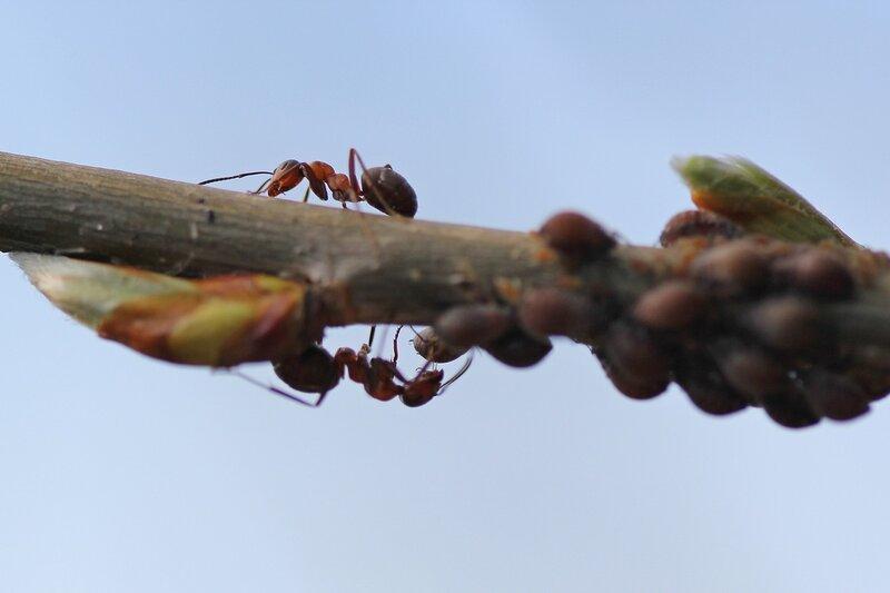 Рыжие лесные муравьи (Formica rufa) обходят стадо тлей (Aphidoidea) на веточке дерева