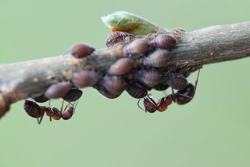 Рыжий лесной муравей (Formica rufa) получил у тли (Aphidoidea) капельку пади на муравьиной ферме на веточке дерева