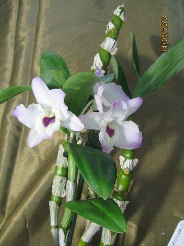 Dendrobium nobile Бело-Розовый цветет