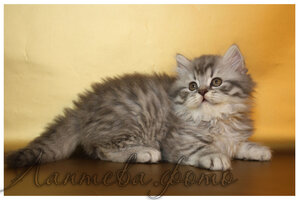 голубой пятнистый британский длинношерстный кот