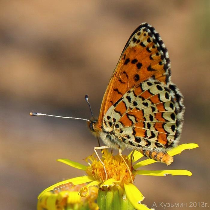 Шашечница дидима (Melitaea didyma)