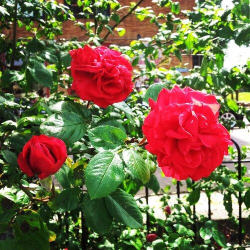 Розы в Роттердаме
