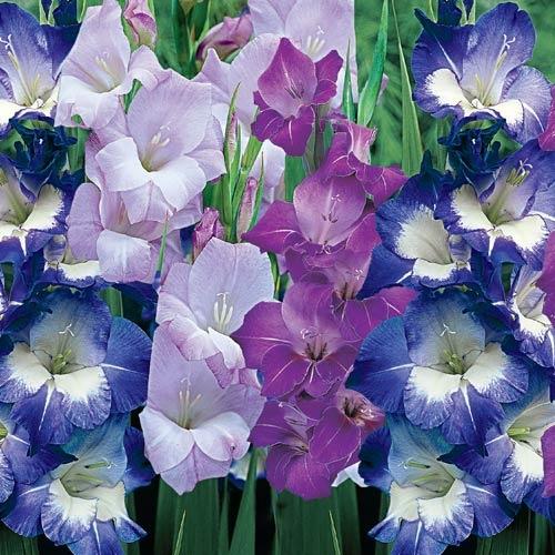 Цветник синий - цветник надежды-гладиолус